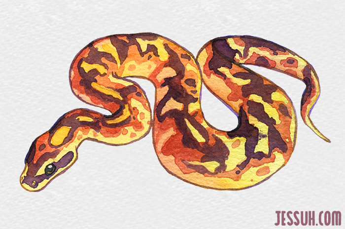 Watercolor painting of a ball python snake
